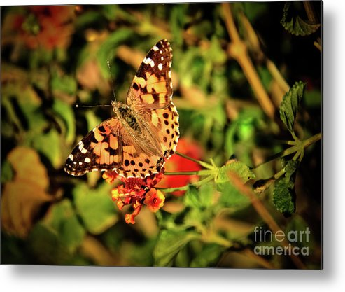 Butterfly Metal Print featuring the photograph American Painted Lady by Robert Bales