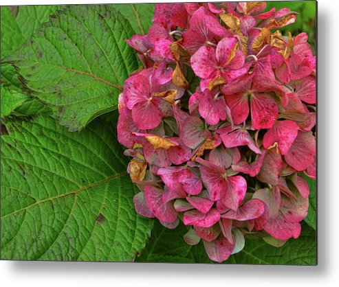 Hydrangea Metal Print featuring the photograph Endless Summer by JAMART Photography