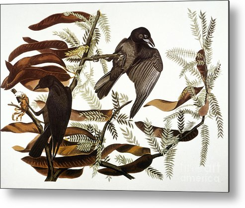 1838 Metal Print featuring the photograph Audubon: Crow by Granger