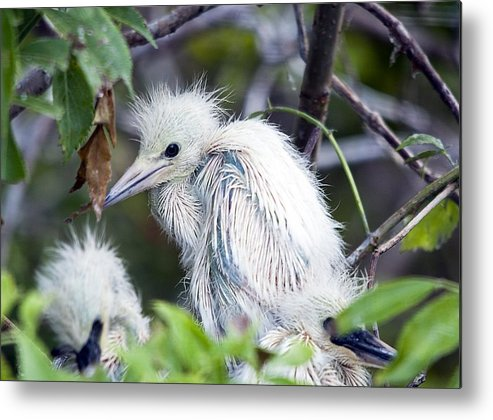 Bird Metal Print featuring the photograph Baby Egret by Kenneth Albin
