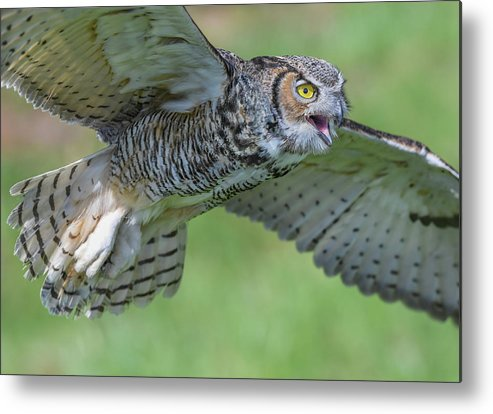 Owl Metal Print featuring the photograph Big Eyes... by Ian Sempowski