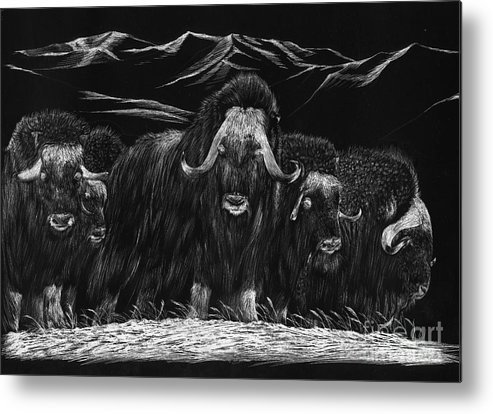 A Herd Of Bisons Gather On A Snowy Plane- Scratch Board Metal Print featuring the painting Bisons by Mui-Joo Wee