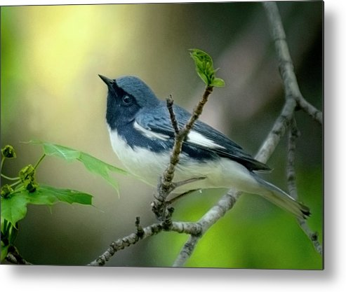 Warblers Metal Print featuring the photograph Black-throated Blue Warbler by Mary Dineen