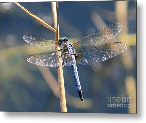 Dragonfly Metal Print featuring the photograph Blue Dragonfly by Carol Groenen