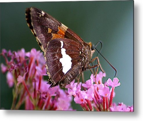 Metal Print featuring the photograph Butterfly-licking by Curtis J Neeley Jr