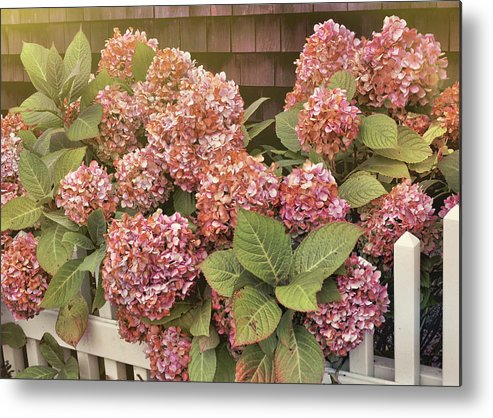 Garden Metal Print featuring the photograph Chatham Mopheads by JAMART Photography