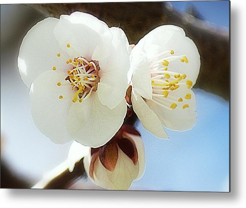 Art Metal Print featuring the photograph Apricot Flowers II by Joan Han