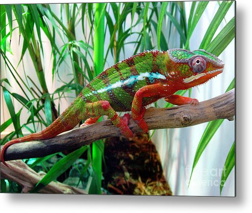 Chameleon Metal Print featuring the photograph Colorful Chameleon by Nancy Mueller