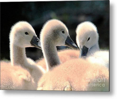 Swan Metal Print featuring the photograph Cygnets by David Rose-Massom