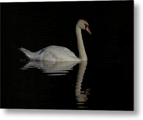 Mute Swan Dark Light White Long Neck Uk Lake England Pond White Metal Print featuring the photograph Dark Beauty by Neil Wayper