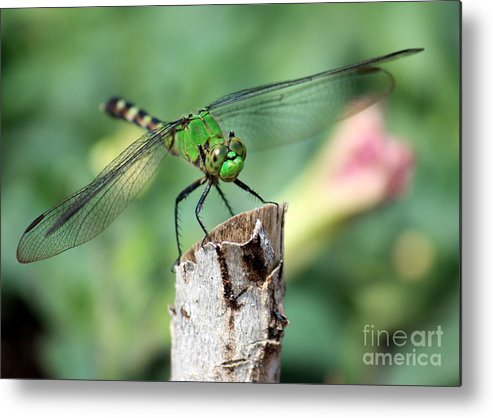 Dragonfly Metal Print featuring the photograph Dragonfly In The Flower Garden by Carol Groenen