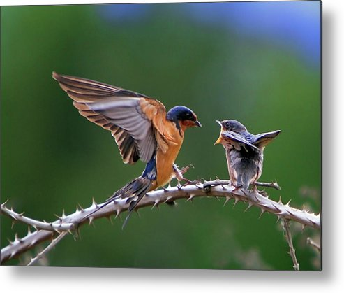 Birds Metal Print featuring the photograph Feed Me by William Lee