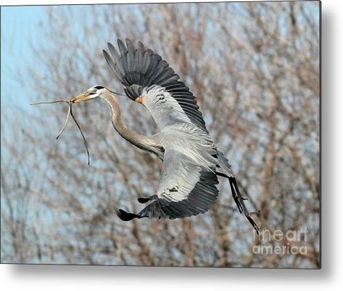 Great Blue Heron Metal Print featuring the photograph For The Nest Too by Sabrina L Ryan