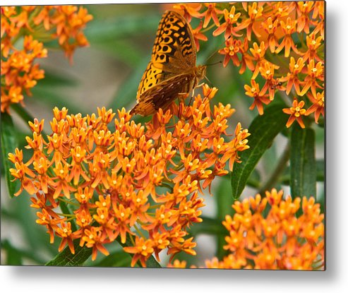 Frittalary Metal Print featuring the photograph Frittalary Milkweed And Nectar by Douglas Barnett