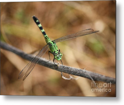 Green Dragonfly Metal Print featuring the photograph Green Dragonfly On Twig by Carol Groenen
