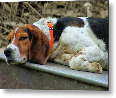 Dog Metal Print featuring the photograph Hound Dog by JAMART Photography