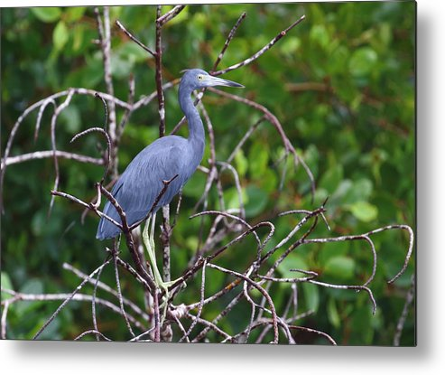 Caroni Swamp Metal Print featuring the photograph Little Blue At Trinidad's Caroni Swamp by Steve Wolfe