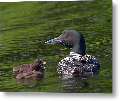 Loon Metal Print featuring the photograph Loon Afternoon by Peter Gray