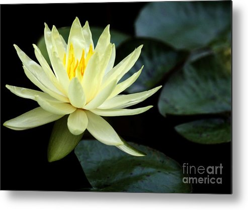 Water Lily Metal Print featuring the photograph Mellow Yellow Water Lily by Sabrina L Ryan