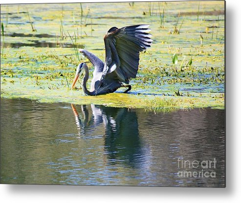 Great Blue Heron Metal Print featuring the photograph Mirror Mirror On The Marsh by Carol Groenen