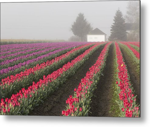 Metal Print featuring the photograph Misty Tulip Fields Iv by Eric Ewing