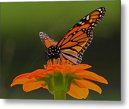 Butterfly Metal Print featuring the photograph Monarch by Peter Gray