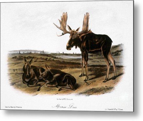 1846 Metal Print featuring the photograph Moose Deer (cervus Alces) by Granger