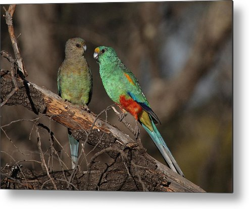 Parrot Metal Print featuring the photograph Mulga Parrot Pair by Tony Brown