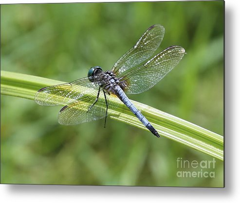 Dragonfly Metal Print featuring the photograph Nature Macro - Blue Dragonfly by Carol Groenen