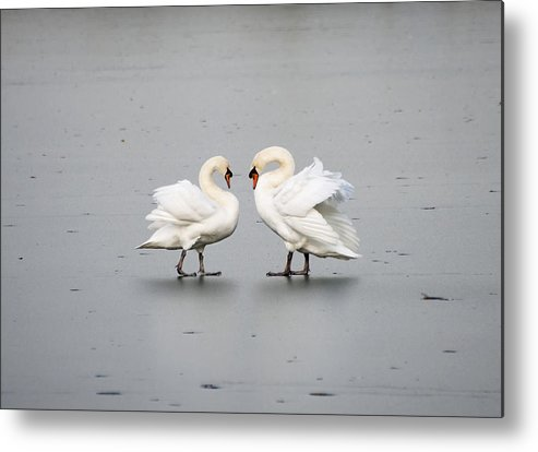 Swans Metal Print featuring the photograph Only You And Me... by Gouzel -