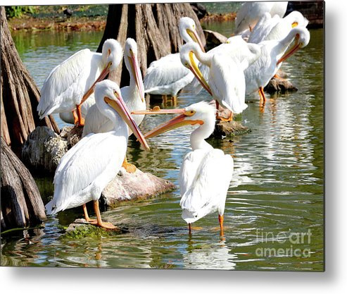 Fighting Birds Metal Print featuring the photograph Pelican Squabble by Carol Groenen