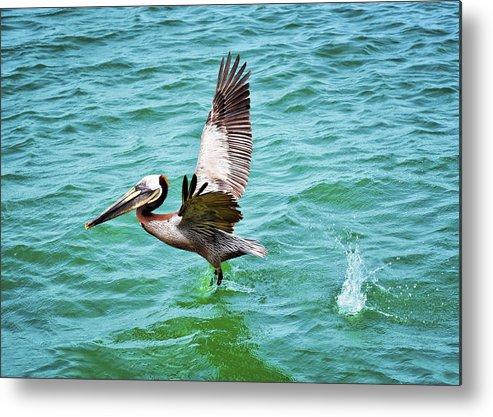 Pelican Taking Flight Metal Print featuring the photograph Pelican Taking Flight by Steven Michael