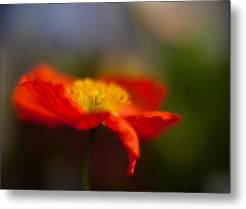 Poppy Metal Print featuring the photograph Poppy Resplendent by Mike Reid
