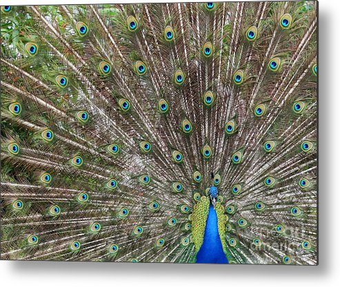 Peacock Metal Print featuring the photograph Proud Peacock by Sabrina L Ryan