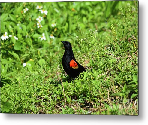 Proud Red-wing Metal Print featuring the photograph Proud Red-wing by William Tasker
