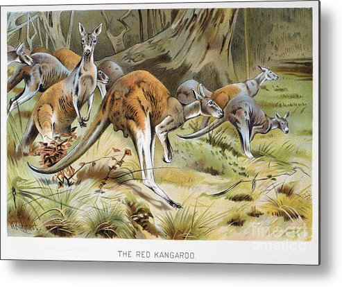 Artcom Metal Print featuring the photograph Red Kangaroo by Granger