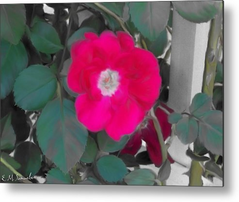 Nature Metal Print featuring the photograph Rose On A Trellis by Elise Samuelson