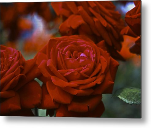 Roses Metal Print featuring the photograph Rose by Wes Shinn