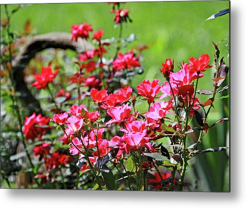 Roses Are Red Metal Print featuring the photograph Roses Are Red by PJQandFriends Photography
