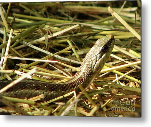 Snake Metal Print featuring the photograph Snake In The Grass by Deborah Johnson