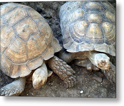 Turtles Metal Print featuring the photograph Turtle Turtle by Kim