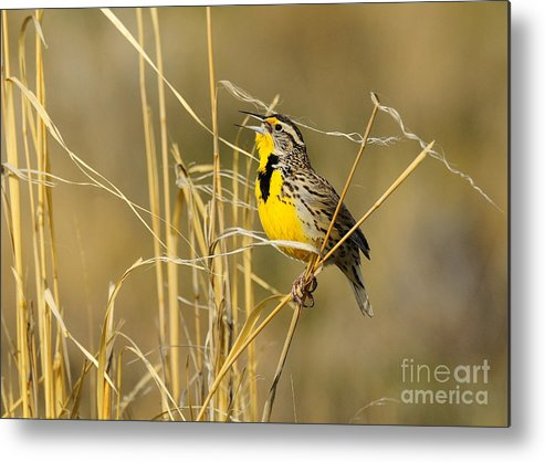 Bird Metal Print featuring the photograph Western Meadowlark Calling For Mate by Dennis Hammer