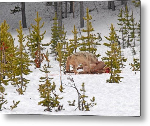 Wolf Metal Print featuring the photograph Wolf On Elk Kill by Dennis Hammer