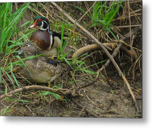 Waterfowl Metal Print featuring the photograph Wood Duck Pair by Robert Smice
