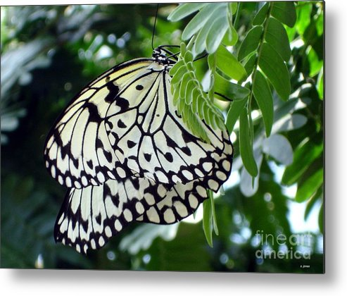Butterfly Metal Print featuring the photograph Zebra In Disguise by Shelley Jones