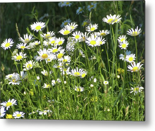 Field Metal Print featuring the photograph Daisies by JAMART Photography