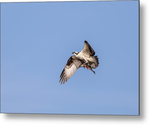 Osprey Metal Print featuring the photograph Osprey With Catch 2019 by Thomas Young