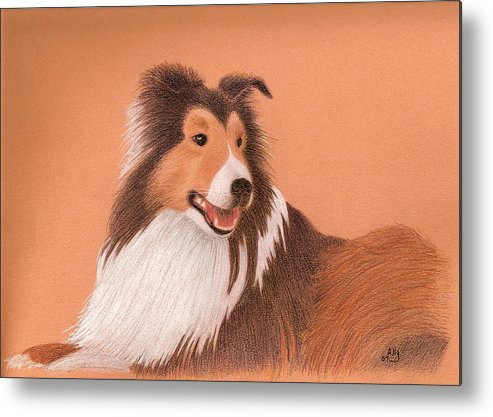 Sheltie Metal Print featuring the drawing Morgan by Ally Benbrook