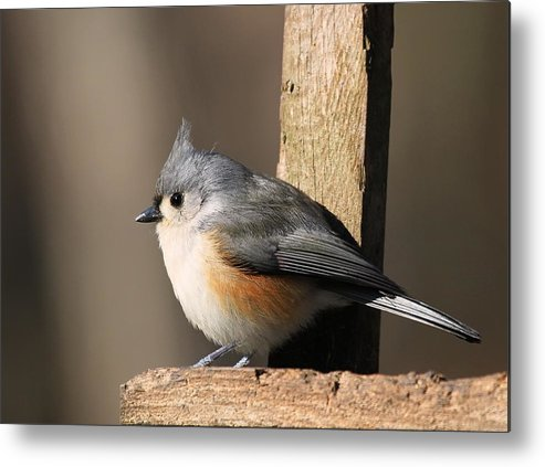 Tufted Titmouse Metal Print featuring the photograph Tufted Titmouse by David Byron Keener