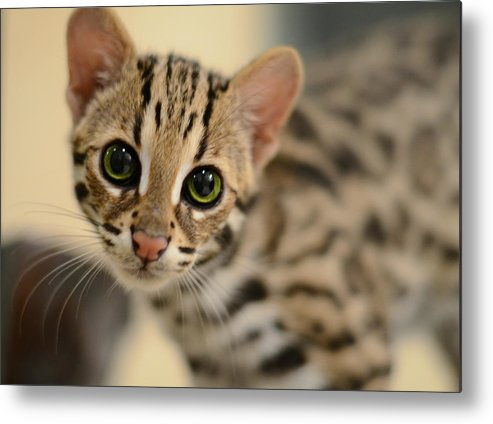 Asian Leopard Metal Print featuring the photograph Asian Leopard Cub by Laura Fasulo